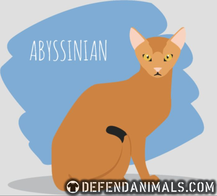 Abyssinian cat - Cat Breeds Women Organic T-shirt