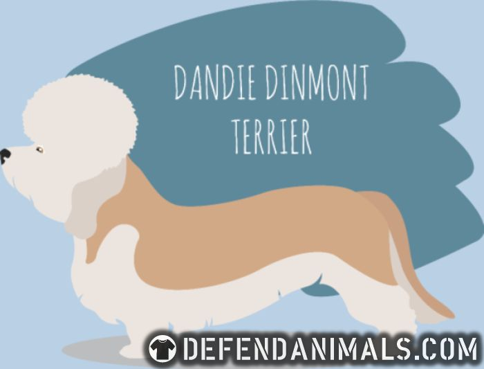 Dandie Dinmont Terrier - Dog Breeds Women Organic T-shirt