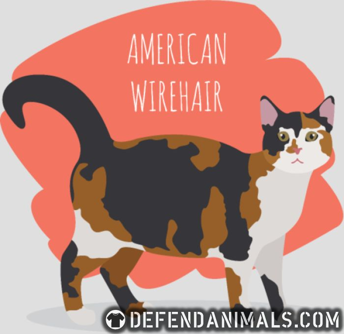 American Wirehair Cat Hoodie 🐾 Cat Breed Hoodie 🐾 DefendAnimals.com